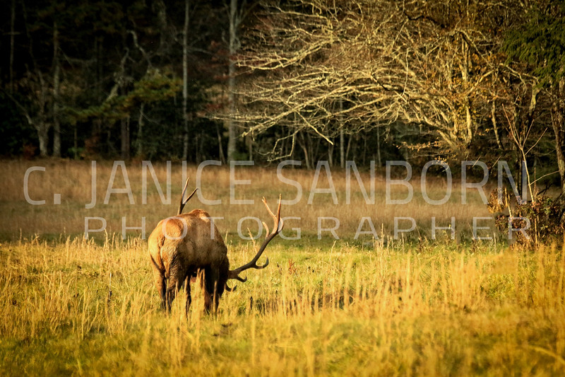 Smokies Elk08