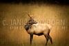 Smokies Elk16