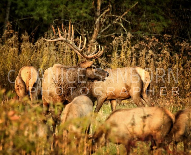 Smokies Elk10
