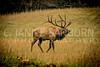 Smokies Elk13