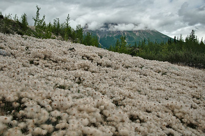 Alaska Cotton Grass