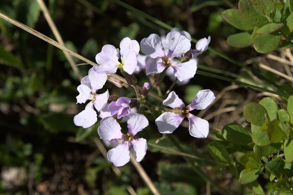 Nakedstem Wallflower