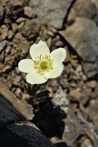 Windflower - Anemone parviflora