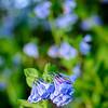 Bluebells<br /> Bartholomew County, Indiana