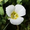 Mariposa-lily