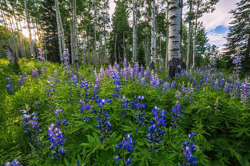 Crested Butte Lupines