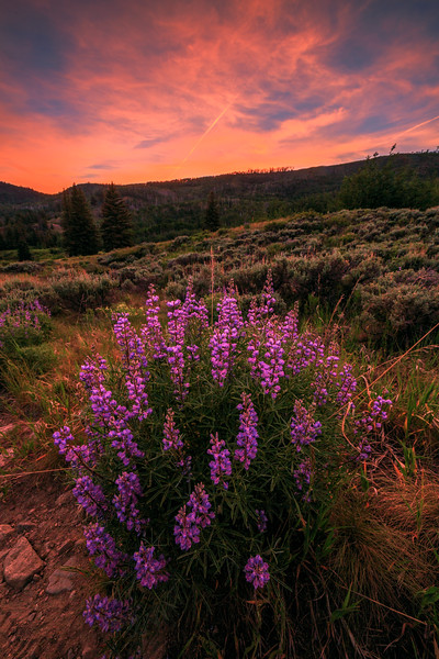 Fire Sky Lupines