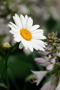 White Daisey