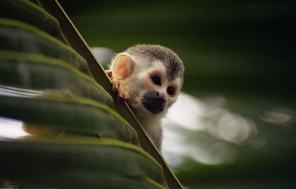 Wild Red Backed Squirrel Monkey - Costa Rica