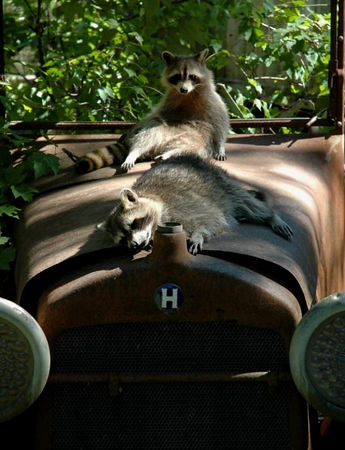 Sleepy Raccoons