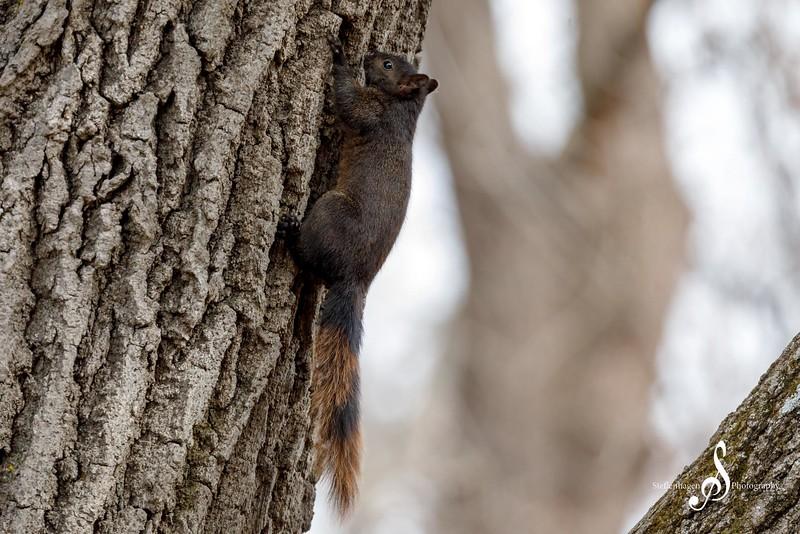 A squirrel climbs an oak tree in Hok-Si-La Park - March 14, 2020