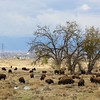 Rocky Mountain Arsenal Bison