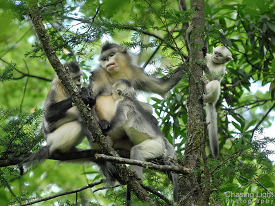 A Family of Black Snub-nosed Monkeys