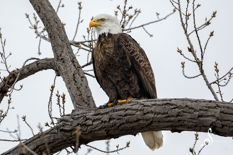 A perched bald eagle off Lake Pepin - March 14, 2020