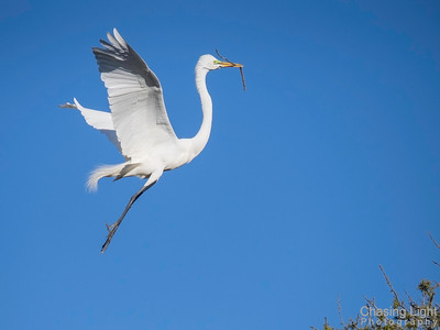 Egret with Twig