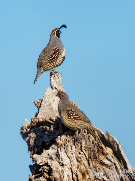 Gambel's Quail - Male and Femaie