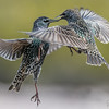 Food Fight - Starlings