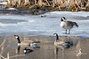 Canadian Geese and a Hooded Merganser - March 14, 2020