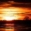 Sandhill Cranes silhouetted as they descended to roost on the Platte River - Kearney, Nebraska