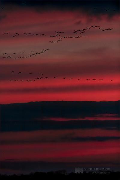 Sandhill Cranes flyover against a fiery backdrop post-sunset - Kearny, Nebraska