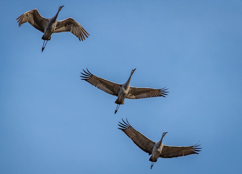 Sandhill Cranes flying overhead
