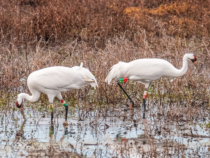 A Pair of Whooping Cranes, protected under the Endangered Species Act.