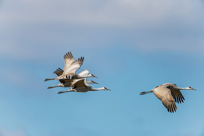 Sandhill Cranes flying into formation