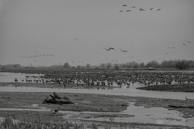 Thousands upon thousands of Sandhill Cranes early morning at the Platte River - Gibbon, Nebraska