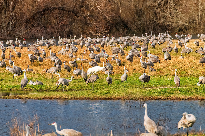"""""""One of these things is not like the other...""""<br /> <br /> A lone Whooping Crane mingles with the migrating Eastern flock of Sandhill Cranes."""