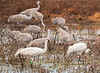 Two Whooping Cranes among Sandhill Cranes
