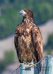 Immature Bald Eagle - Grand Teton National Park