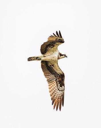 Osprey - Island Park, Idaho