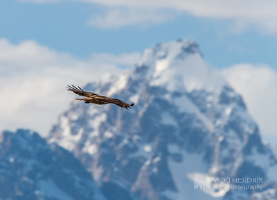 Red Tailed Hawk soars against the Grand Teton - Grand Teton National Park, Wyoming