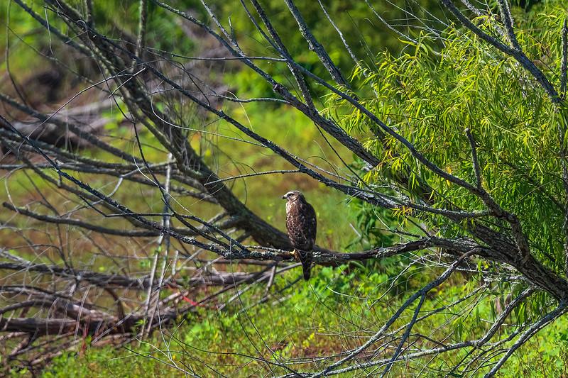 Broad Winged Hawk - Wilsonville, Alabama