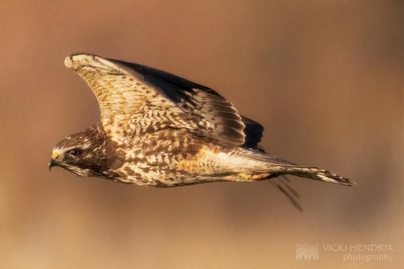Red Tailed Hawk - Idaho