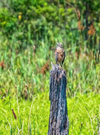 Red Shouldered Hawk - Limestone Park, Alabama