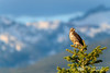 Red Tail Hawk - Idaho