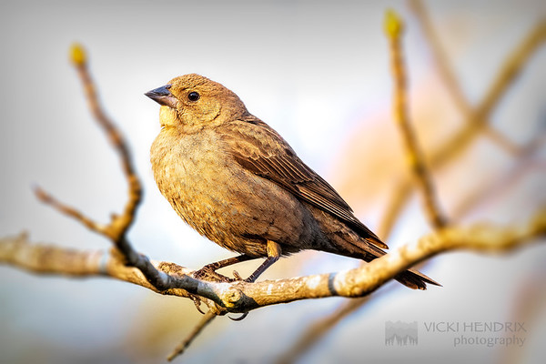 Female Cowbird at Sunset - Alabama