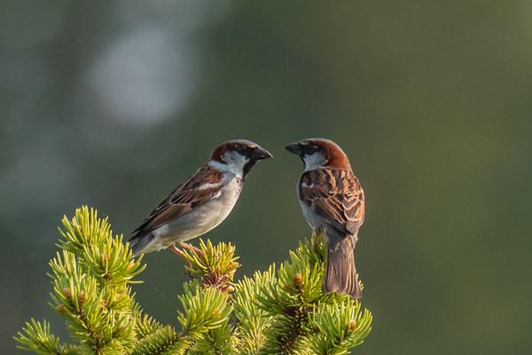 Pair of House Sparrows atop a fir tree - Kalispell, Montana