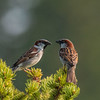 Pair of House Sparrows atop a fir tree - Kalispell, Montana