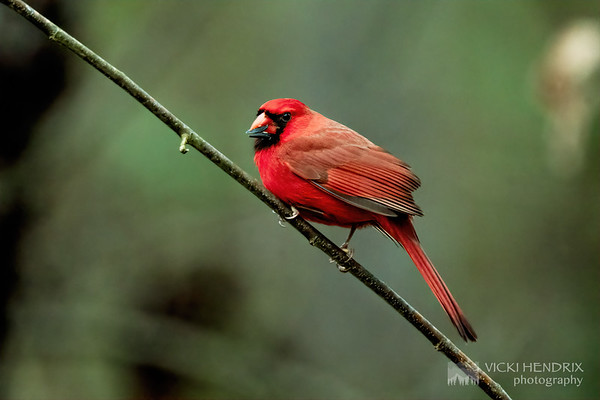 Northern Cardinal - Alabama
