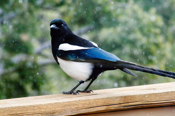 Black Billed Magpie in Winter - Colorado