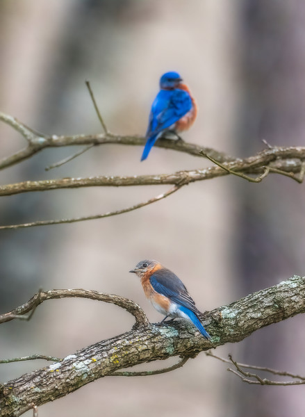 Paired male and female Eastern Bluebird - Alabama