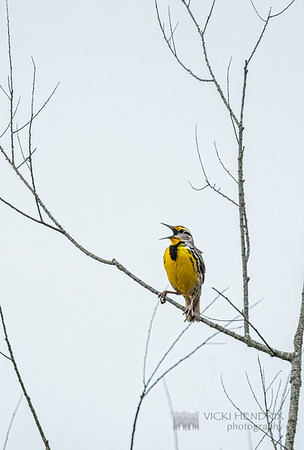 Eastern Meadowlark singing his heart out - Alabama