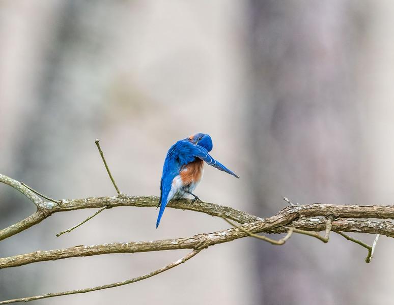 Preening Eastern Bluebird - Alabama