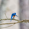 Preening Eastern Bluebird - Alabama
