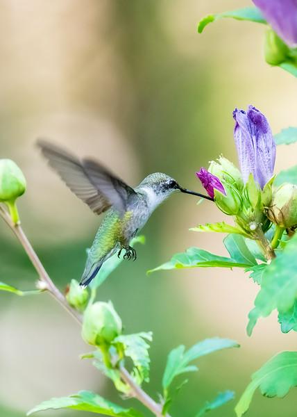 Ruby Throated Hummingbird, Female or Immature male - Alabama