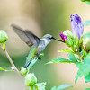 Ruby Throated Hummingbird, Female or Immature male - Alabama