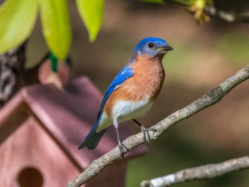 Male Eastern Bluebird - Alabama