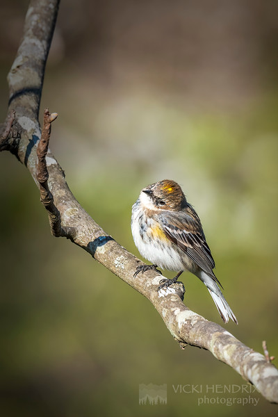 Yellow Rumped Warbler - Alabama
